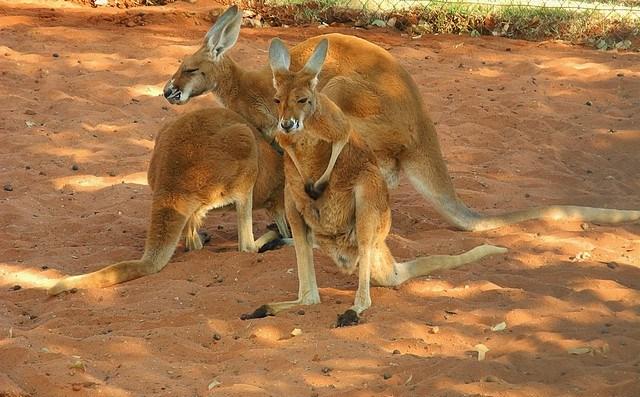 australie-kangourous