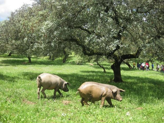 huelva -andalousie-porcs-jambon