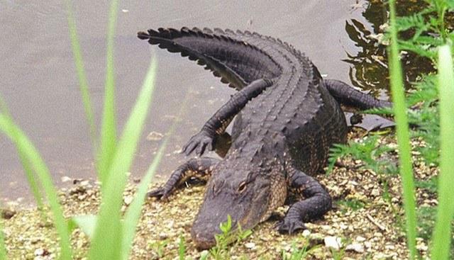 alligator-2